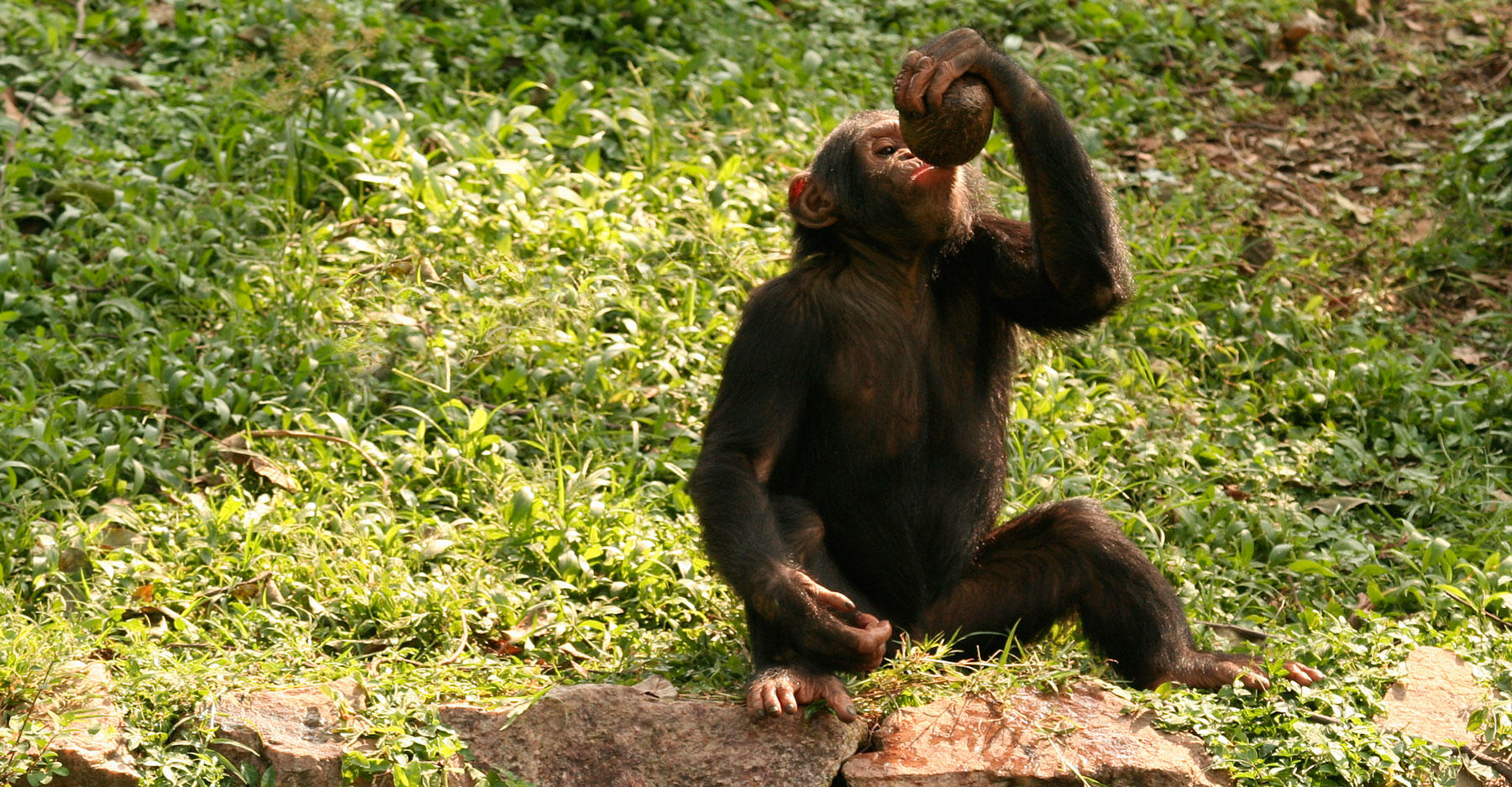 VIDEO - Chimps Found Ingesting Fermented Sap, Get Drunk