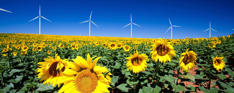 Wind turbines and sunflowers