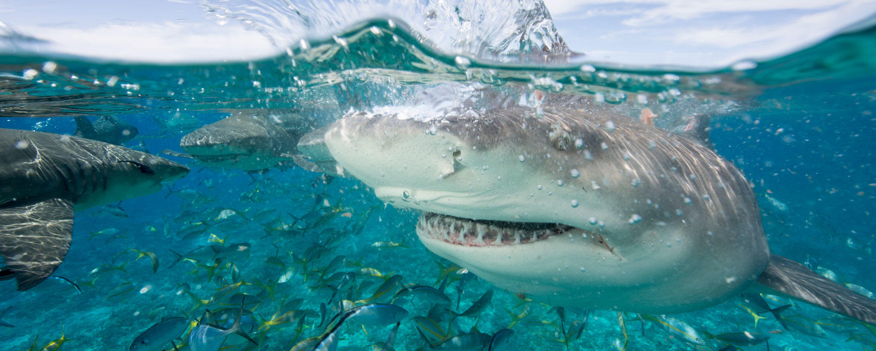 Lemon sharks compete for food during a staged shark feeding dive in the Bahamas
