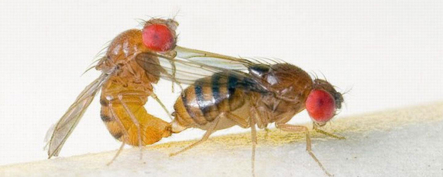 Mating pair of Drosophila serrata.