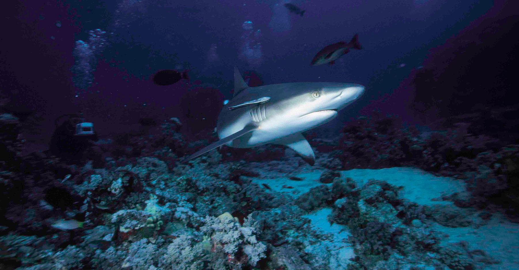 Grey Reef Shark near coral reef and plants, Sudan.