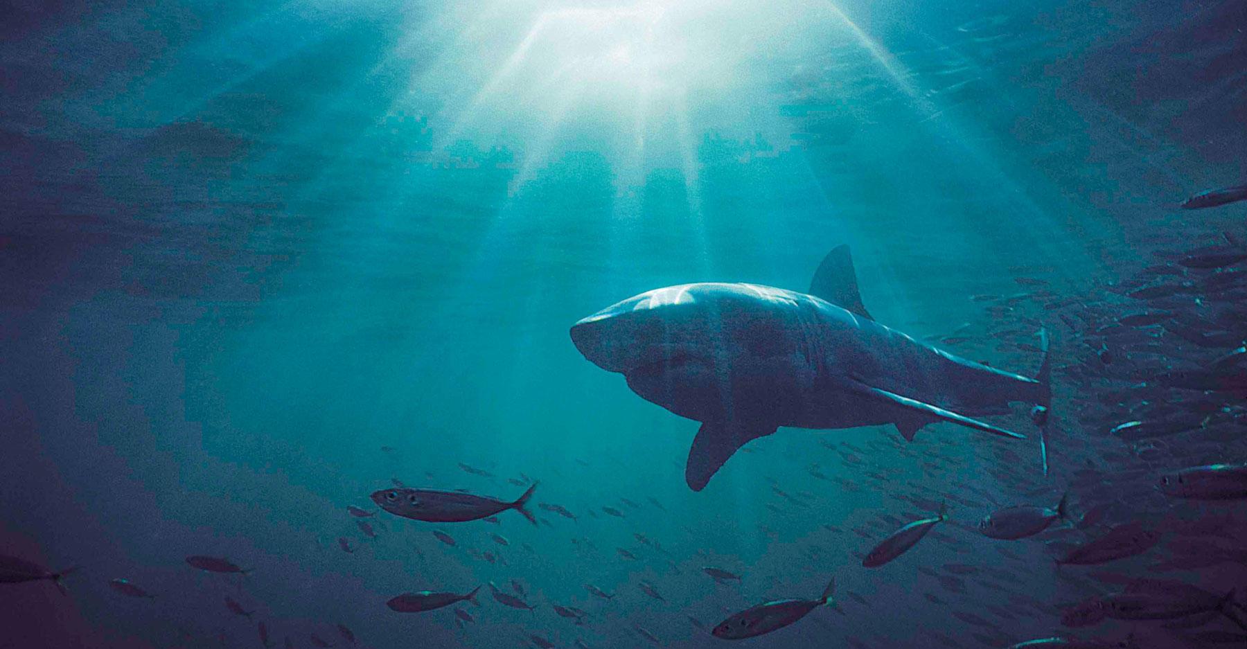 Great white shark in sunbeam