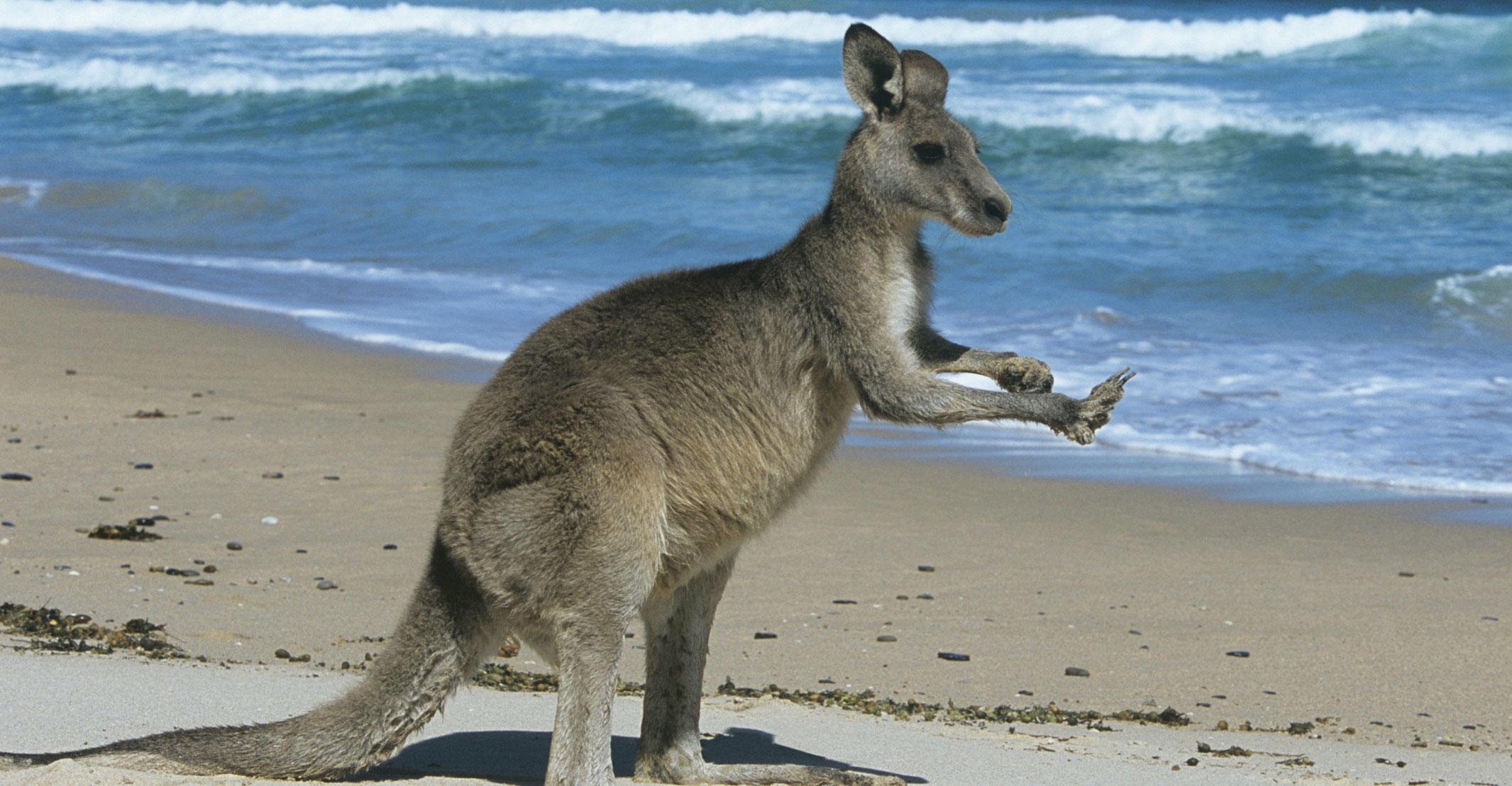 Kangaroo with hands