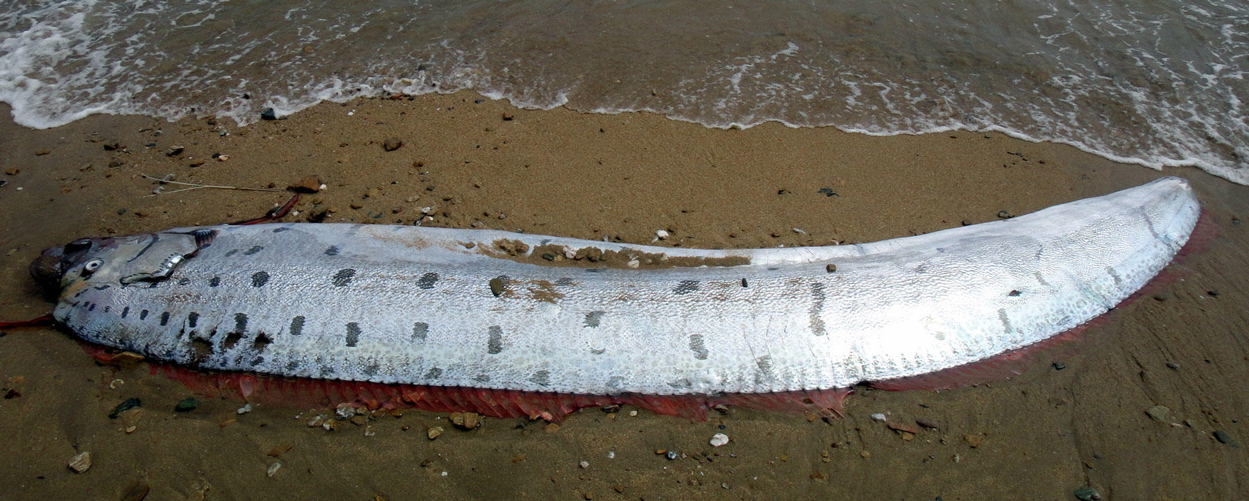 Giant Oarfish on Catalina Island