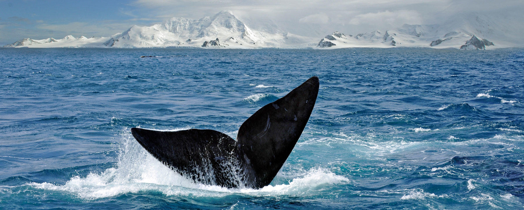 South Right Whale breaking the surface of the Weddell Sea in the Antarctic Ocean