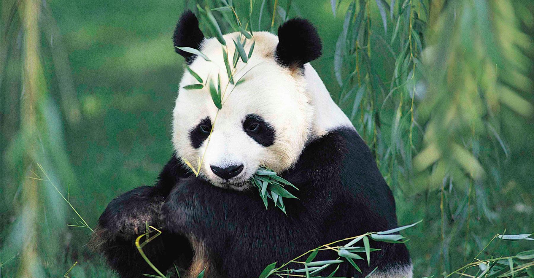 Giant panda (ALLUROPODA MELANOLEUCA) eating bamboo.