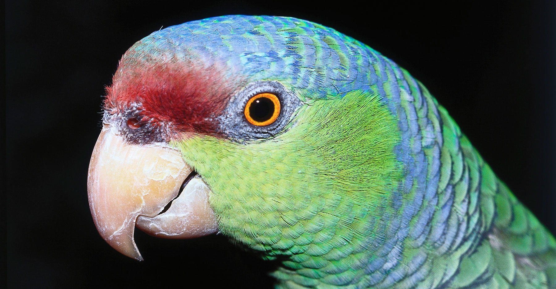 Detail of face and beak of lilac-crowned parrot. Amazona finschi. Sonoran Desert, Mexico, North America.