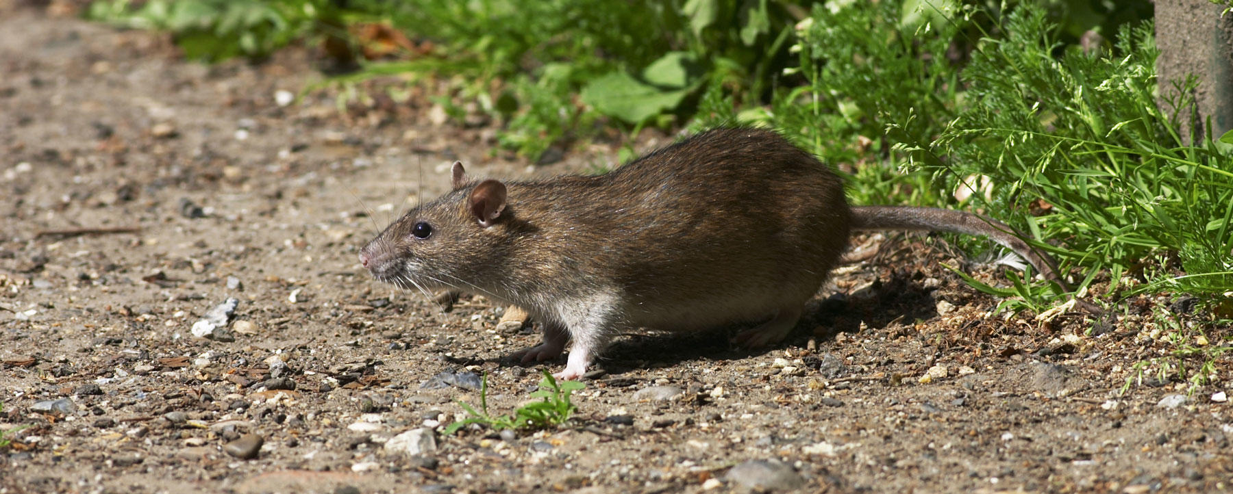 Scurrying rodent