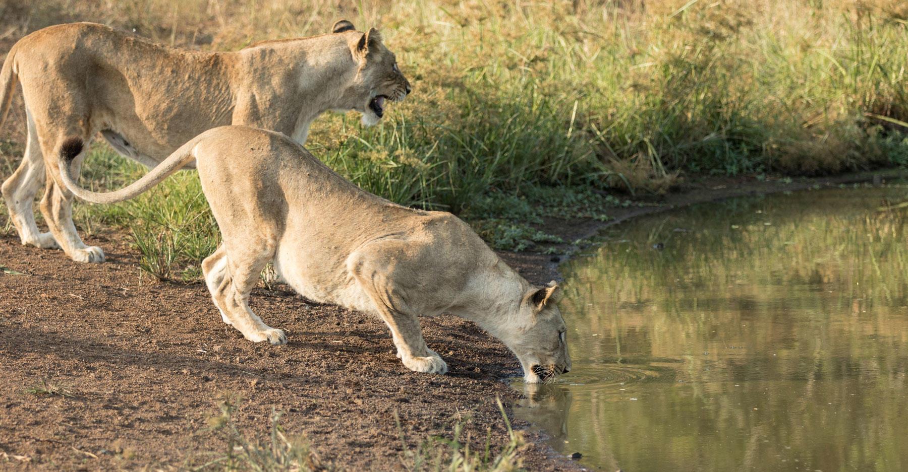 Lions released into Rwanda