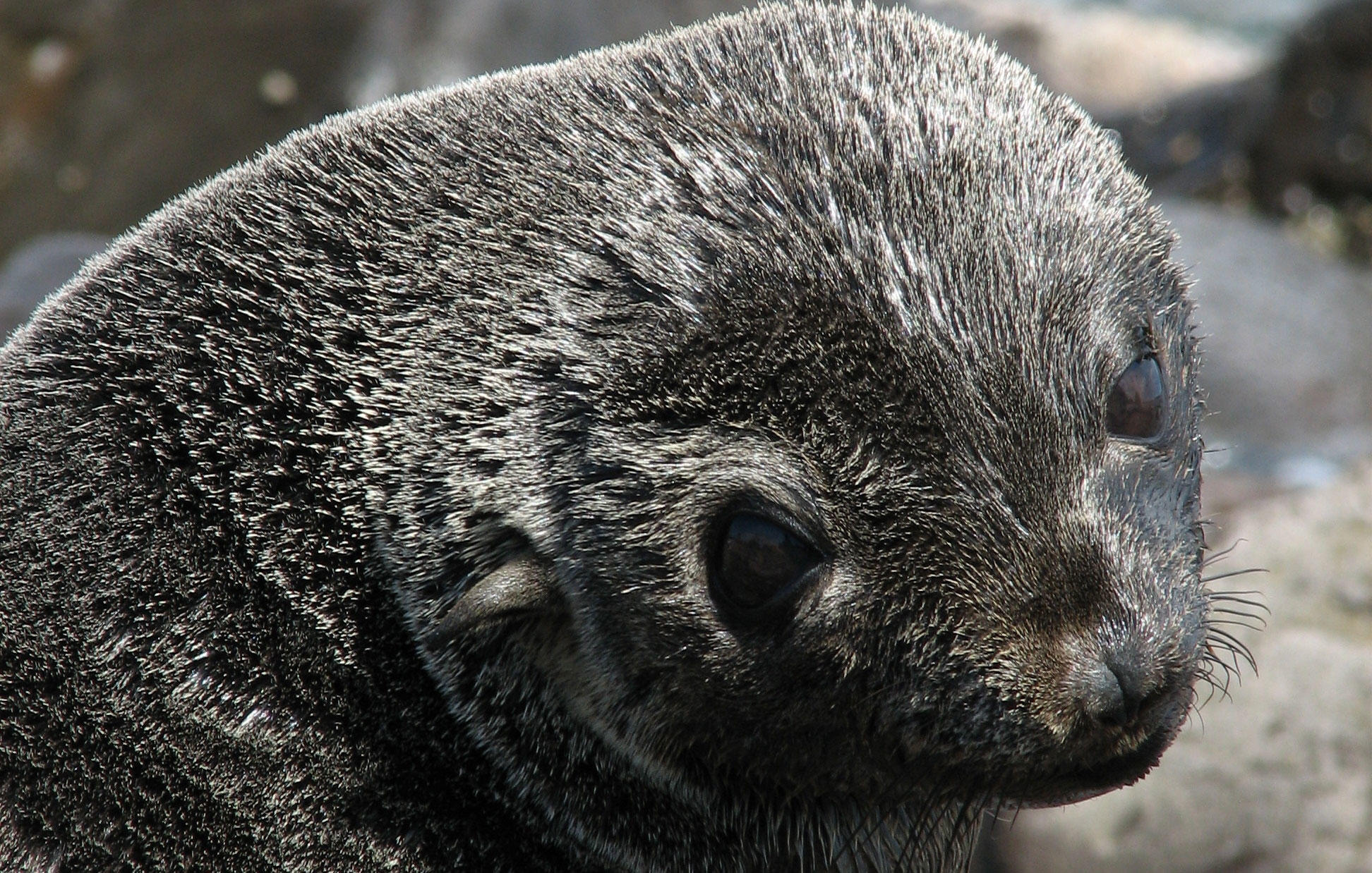 Guadalupe fur seal