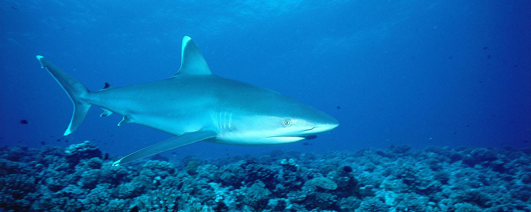 Silvertip shark swims in the ocean. Carcharhinus algimarginatus. Rangiroa, French Polynesia.