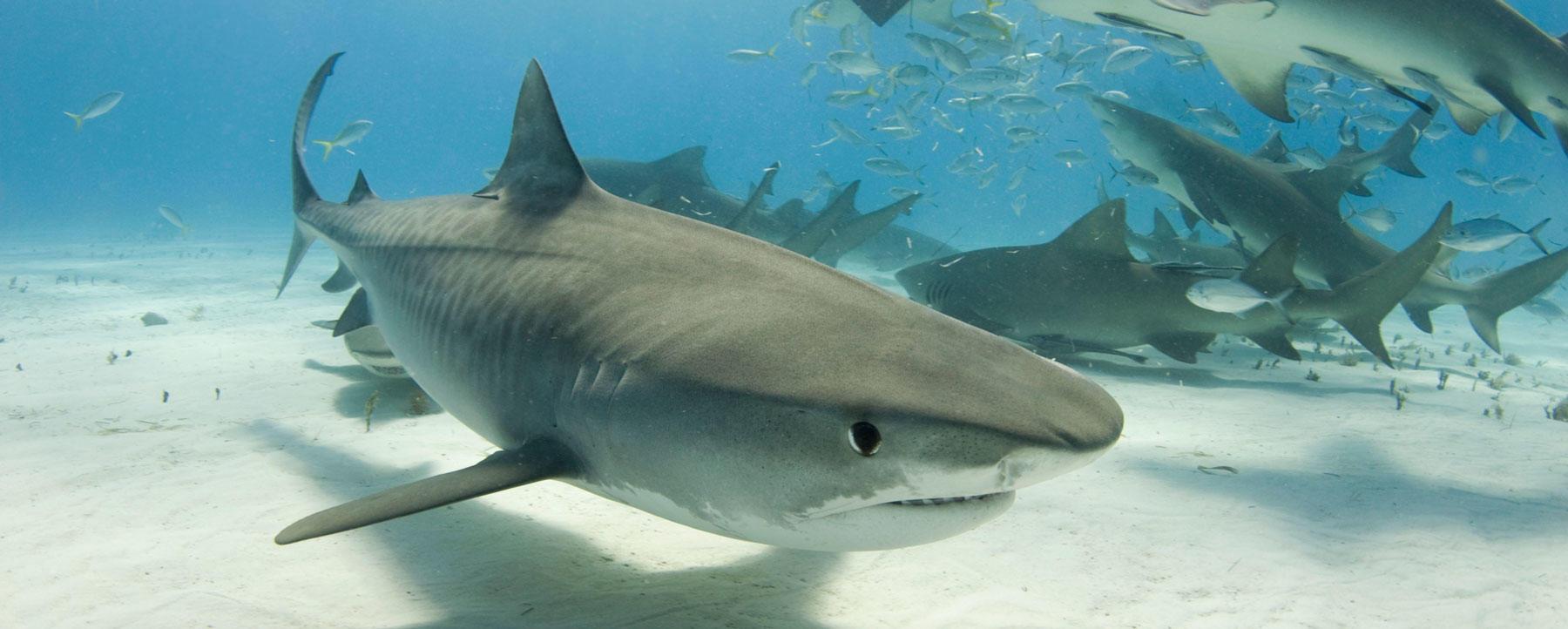 Tiger shark and feeding frenzy