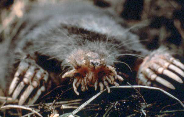 Star-nosed mole via USNPS