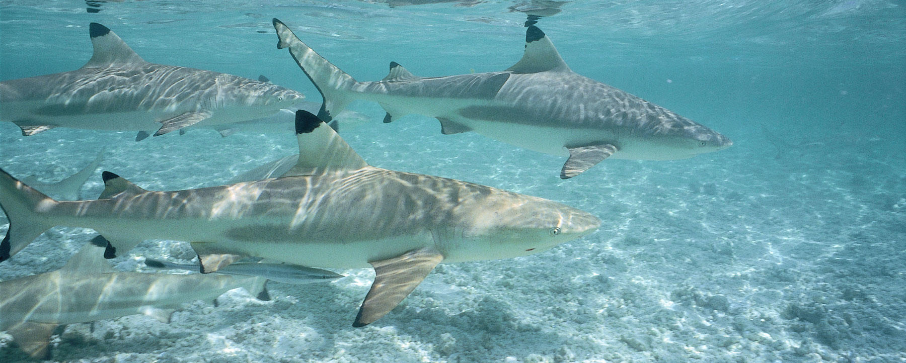 Blacktip reef sharks swim together in ocean. Carcharhinus melanopterus. Rangiroa, French Polynesia.