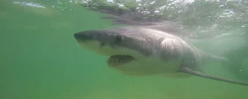 Jameson the Shark