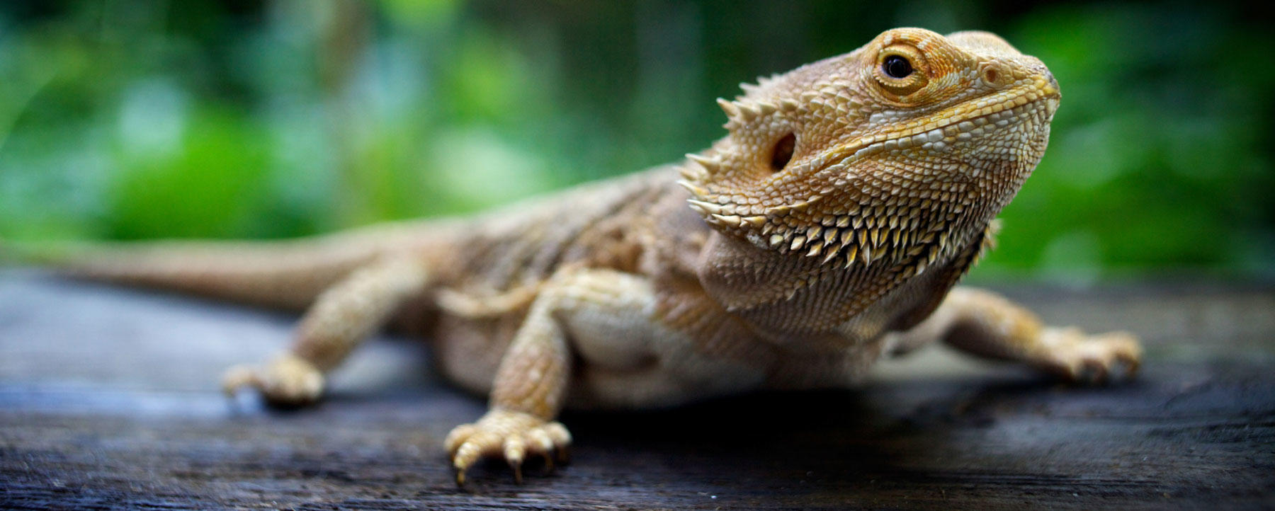 Close up of Pogona, standing on wood, looking at camera