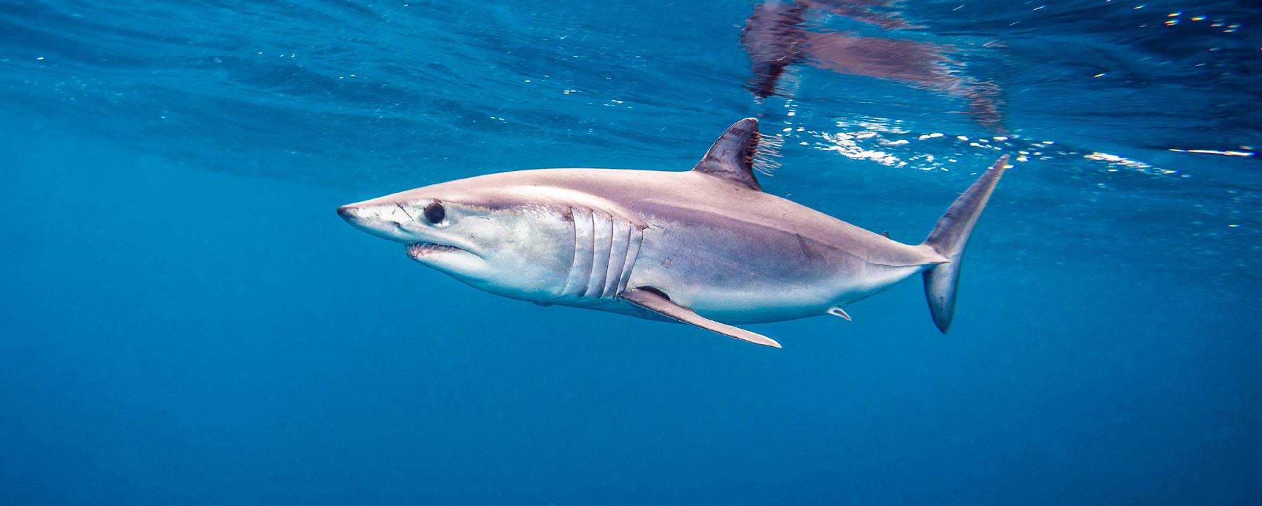 Mako shark swimming