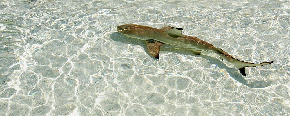 Female Shark