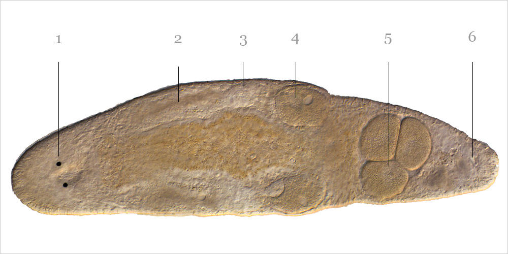 Macrostomum hystrix