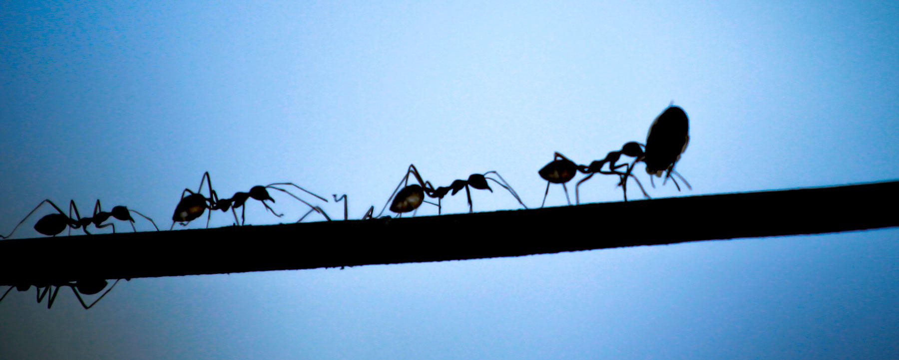 Silhouetted black ants