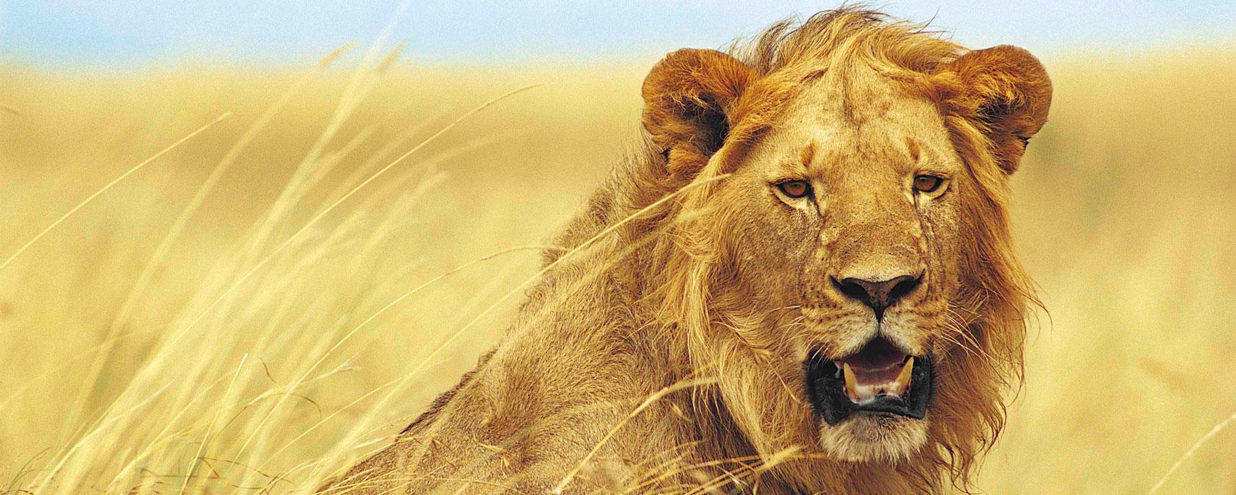 Young male lion (PANTHERA LEO) portrait.