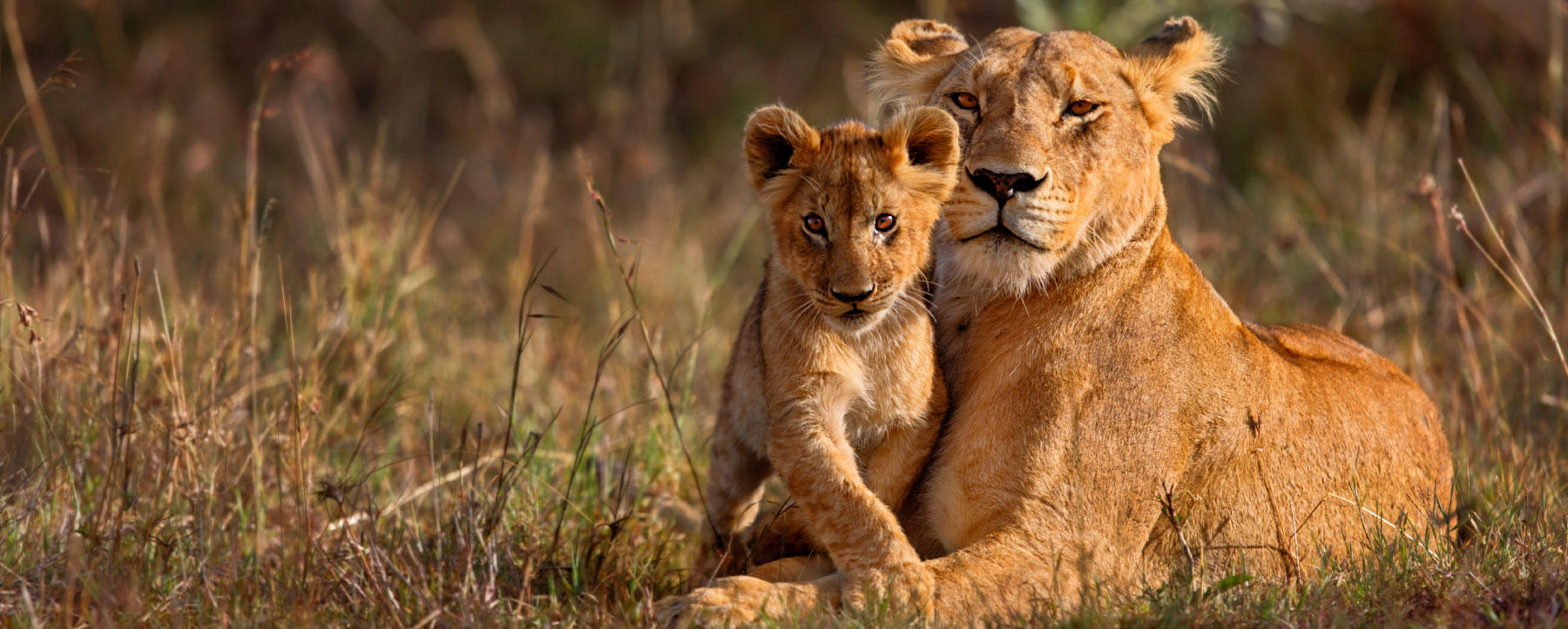 Lion mother with cub