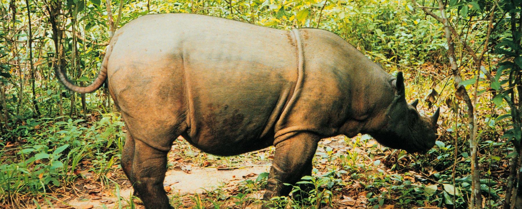 sumatran rhinos now extinct in malaysia