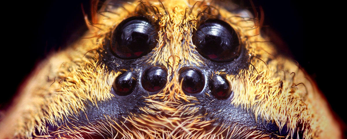 Eye configuration of a Hogna species wolf spider
