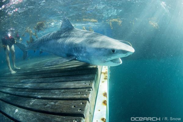 Finley The Shark