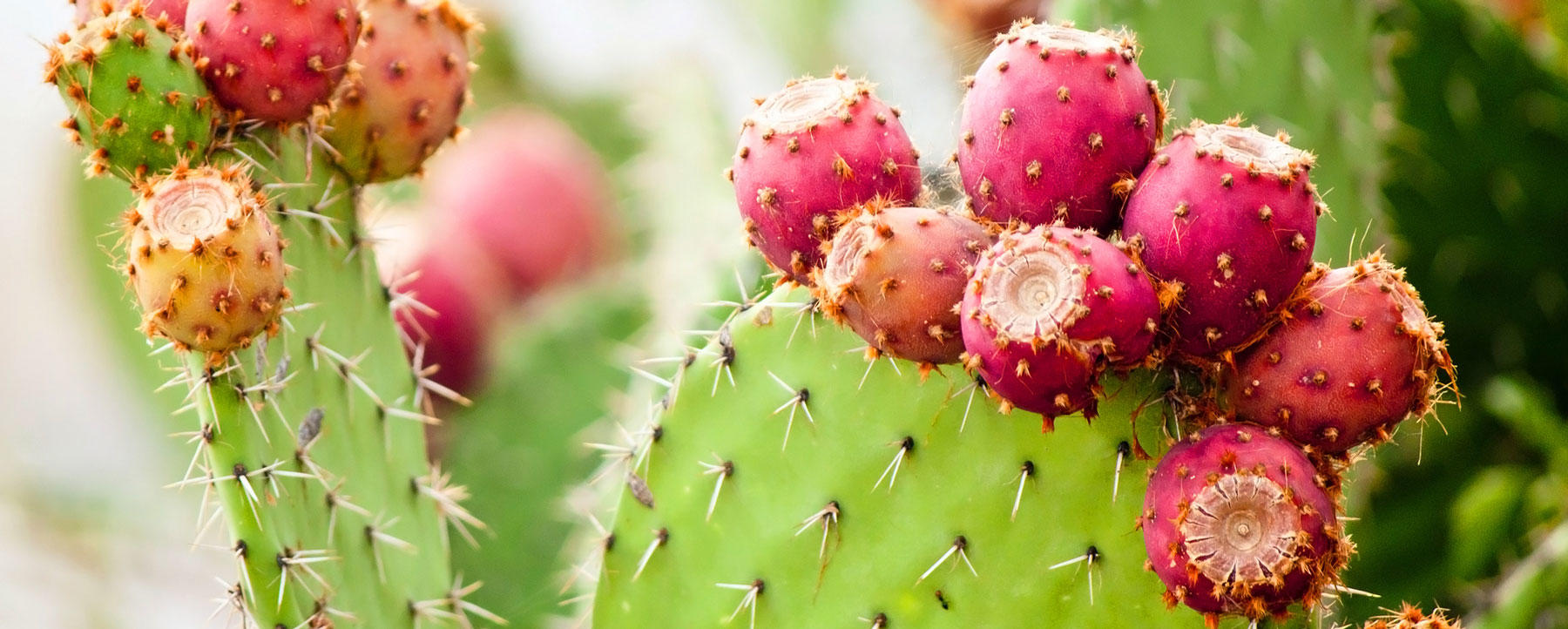 Prickly pear cactus banner