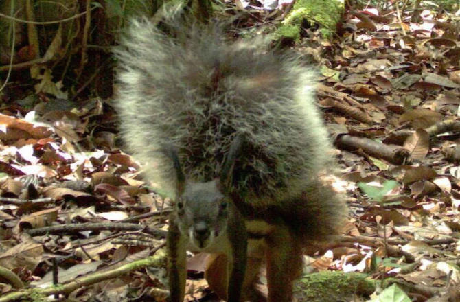 Meet the Vampire Squirrel, Among the Fluffiest of all Animals
