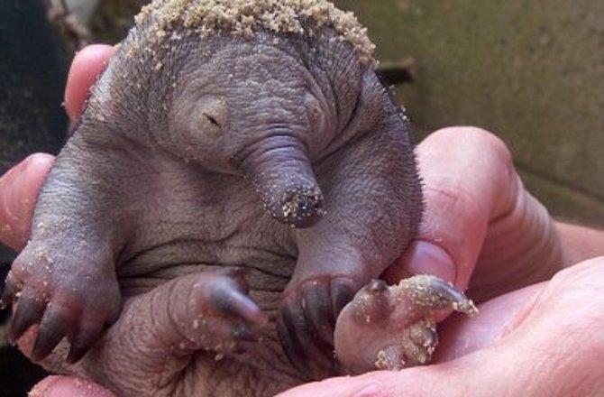 Baby echidna