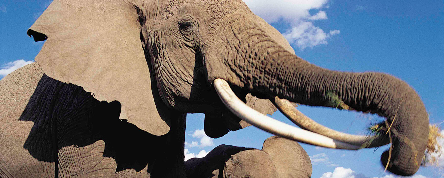 Elephant with long tusks