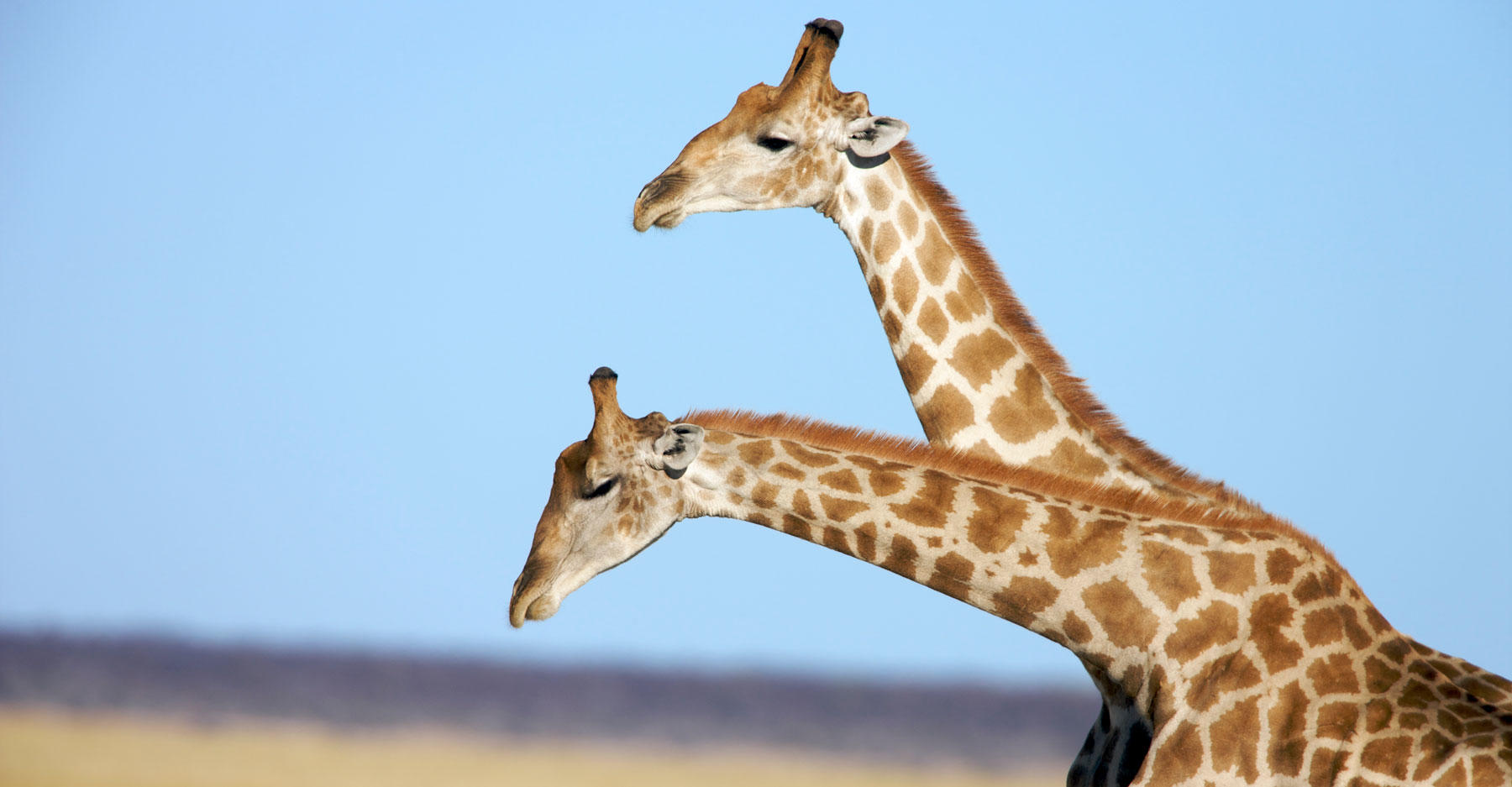 Two giraffes with long necks