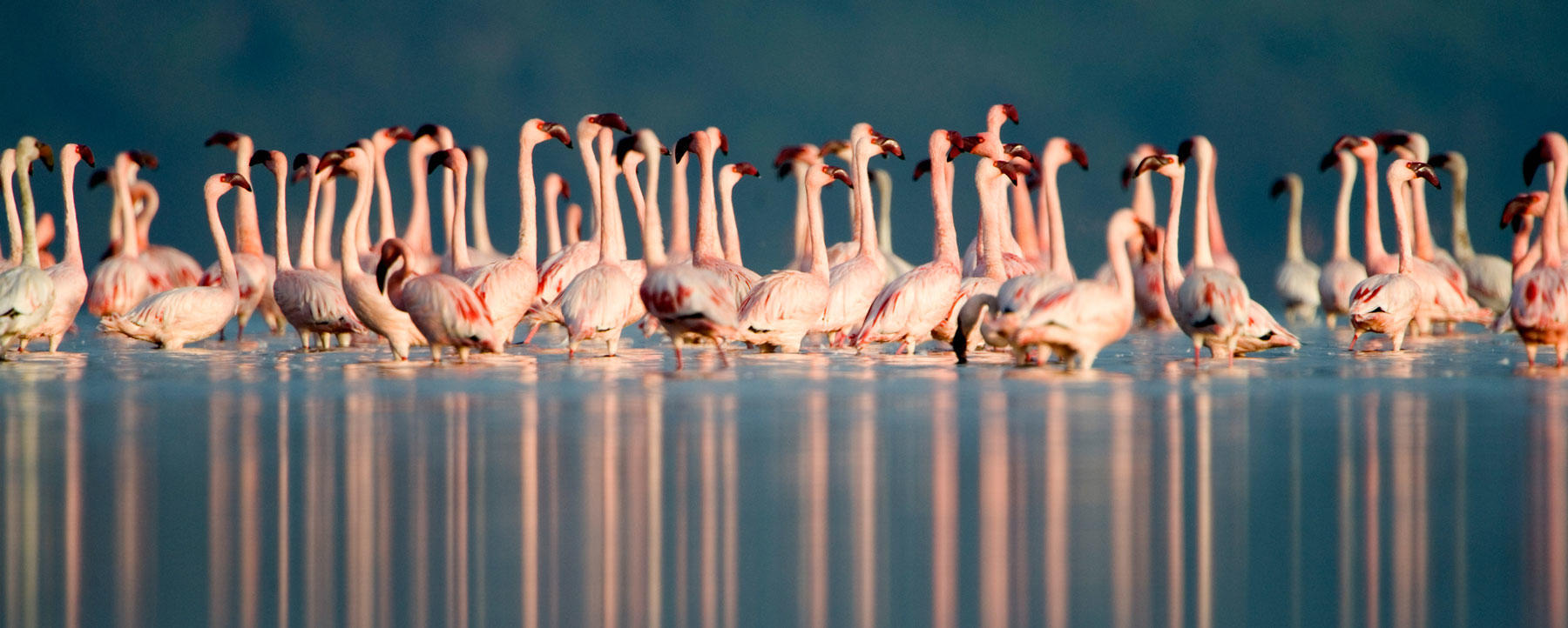 Lesser flamingos (Phoenicopterus minor) in Kenya
