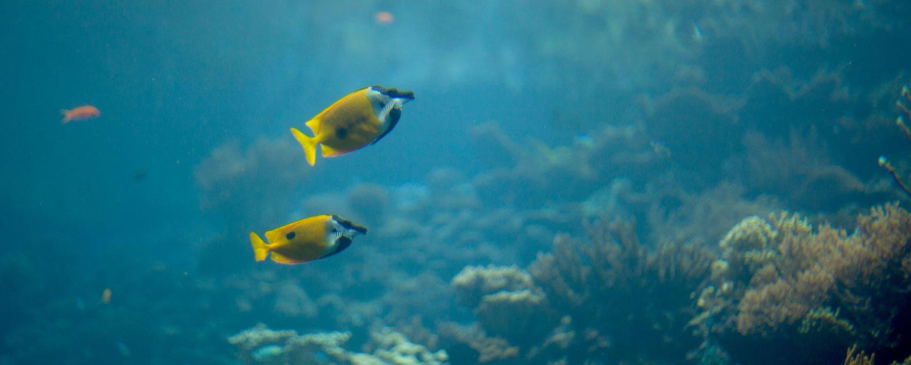 Two rabbitfish swimming
