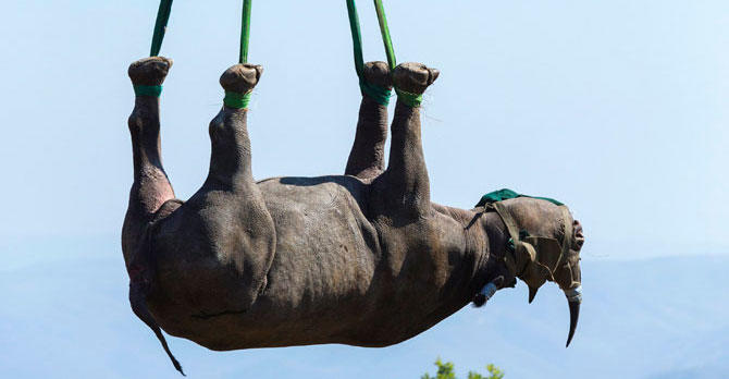 Airlifted rhino