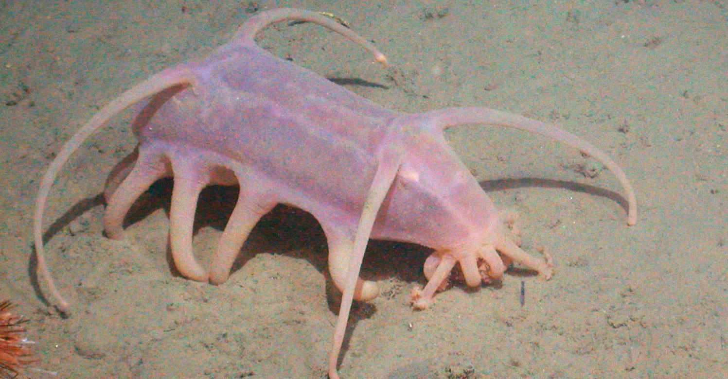 Scotoplane aka sea pig