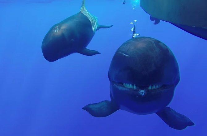 False killer whale in Hawaii