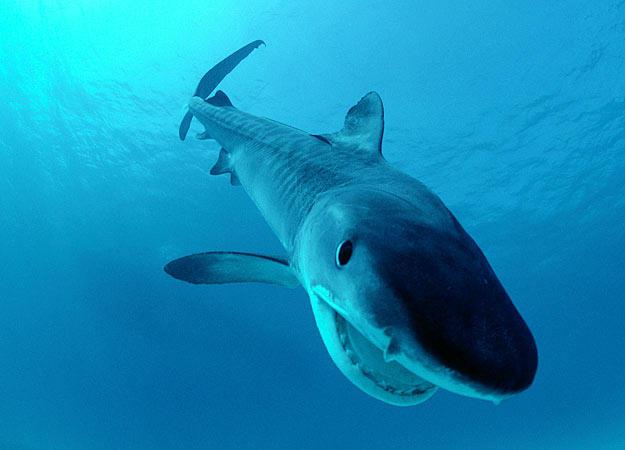 tiger-shark-australia