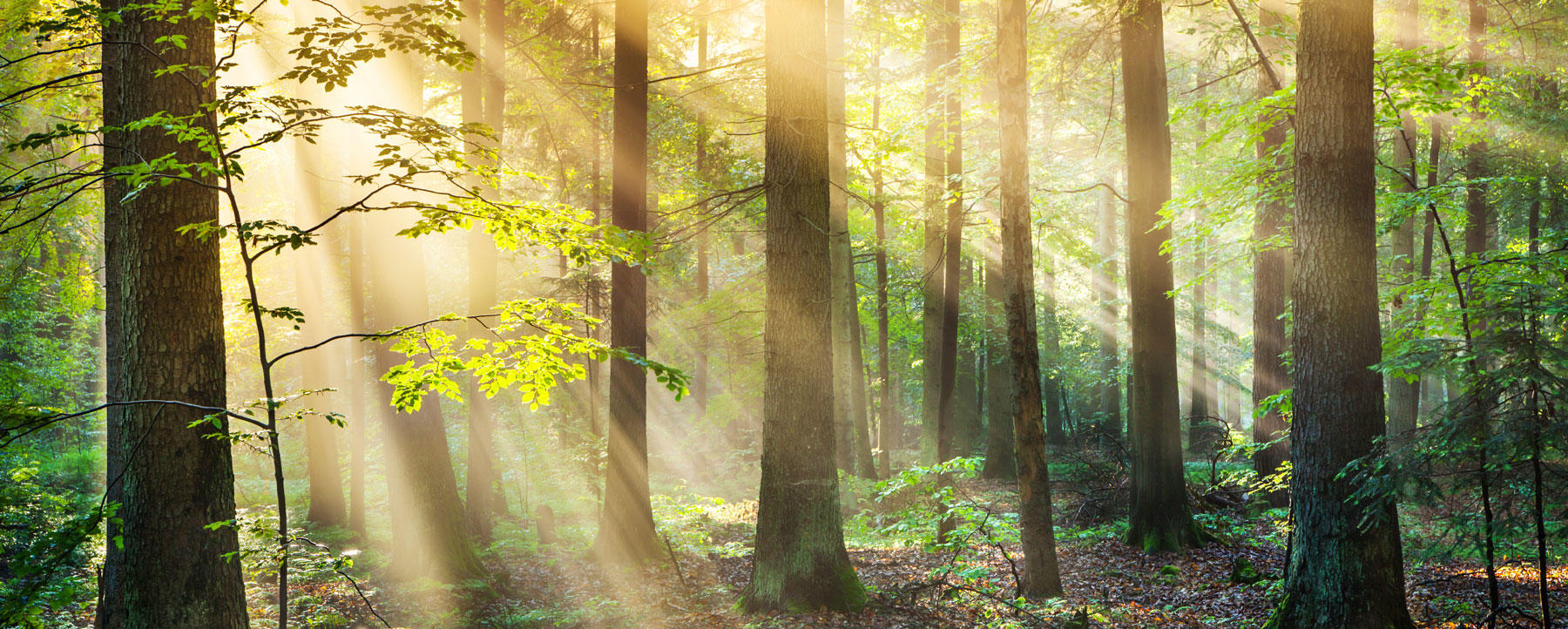 Forest and rays of sunshine