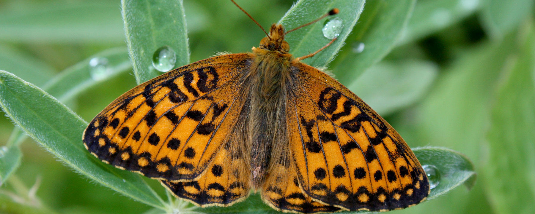 Arctic fritillary (Boloria chariclea) butterfly