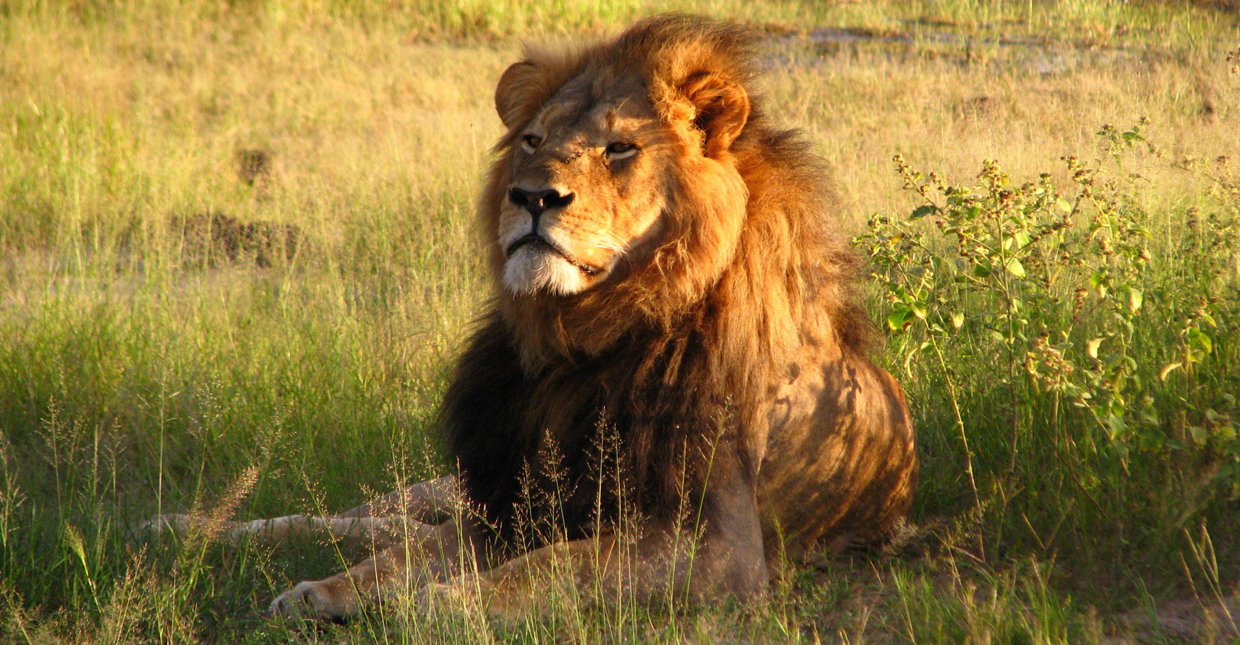 Cecil the Lion in 2010