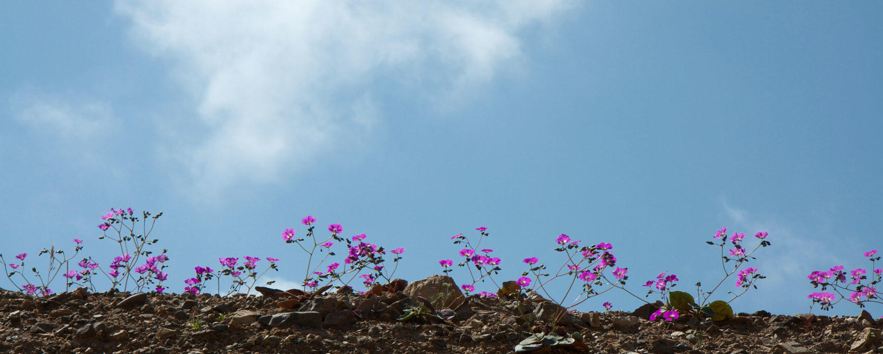 Pink flowers in Atacama