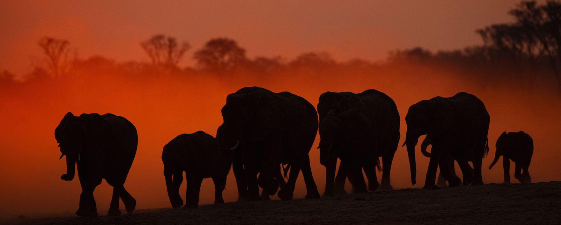 Silhouetted elephants in Hwange