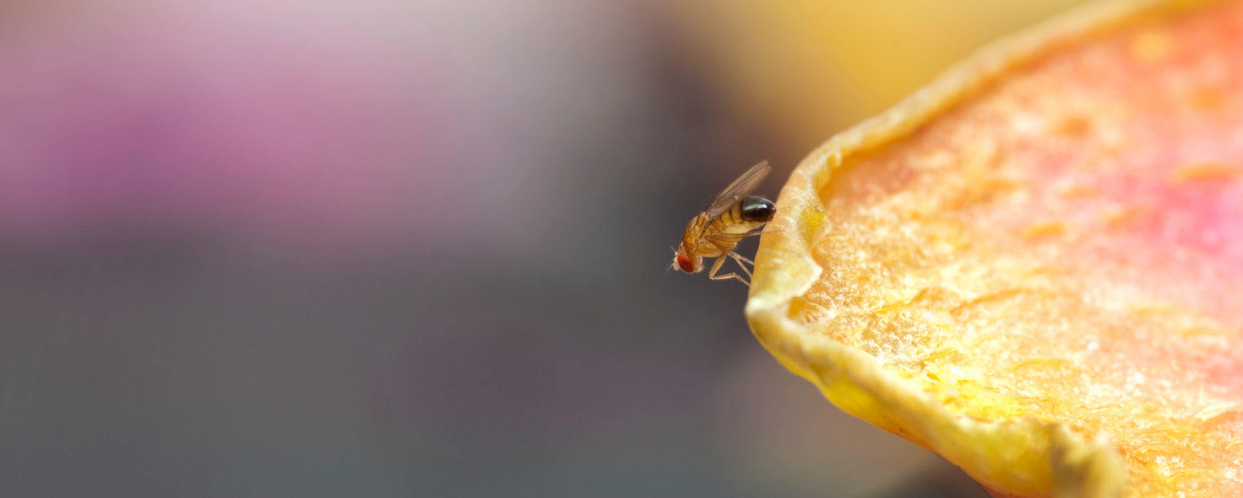 Fruit fly on colorful object