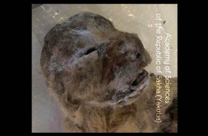 frozen-cave-lion-151027