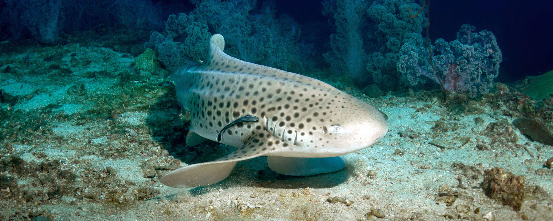 Leopard shark on the sea floor