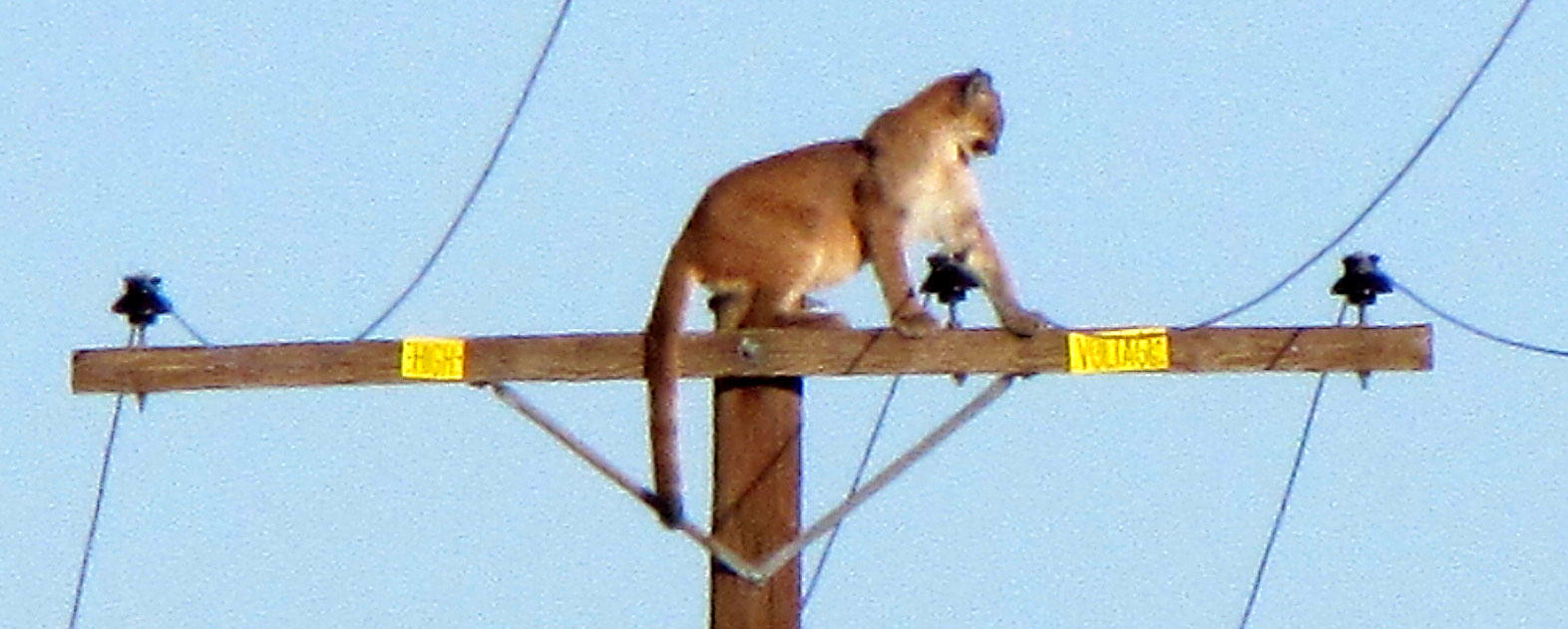 Mountain lion atop light pole