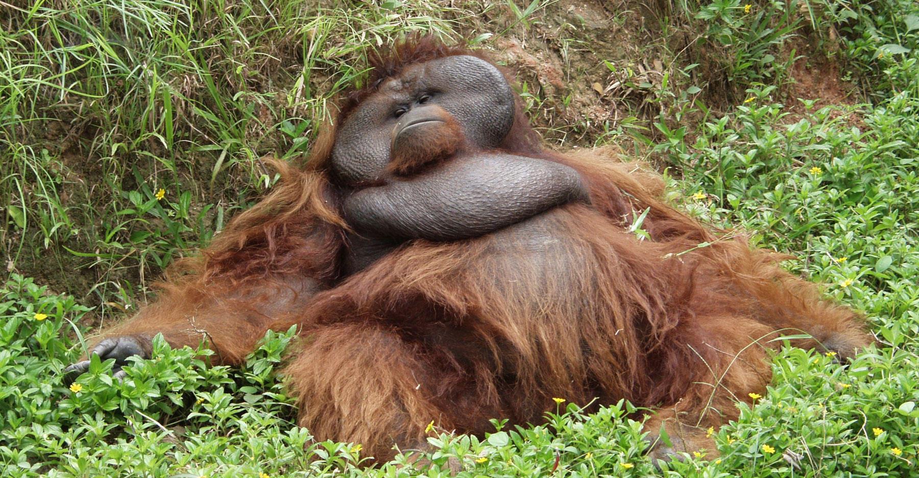 Orangutan hangover